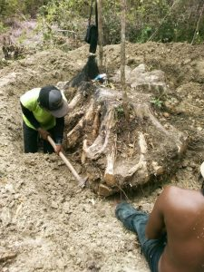 Teak root furniture: harvesting of the teak root